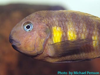 Tropheus brichardi